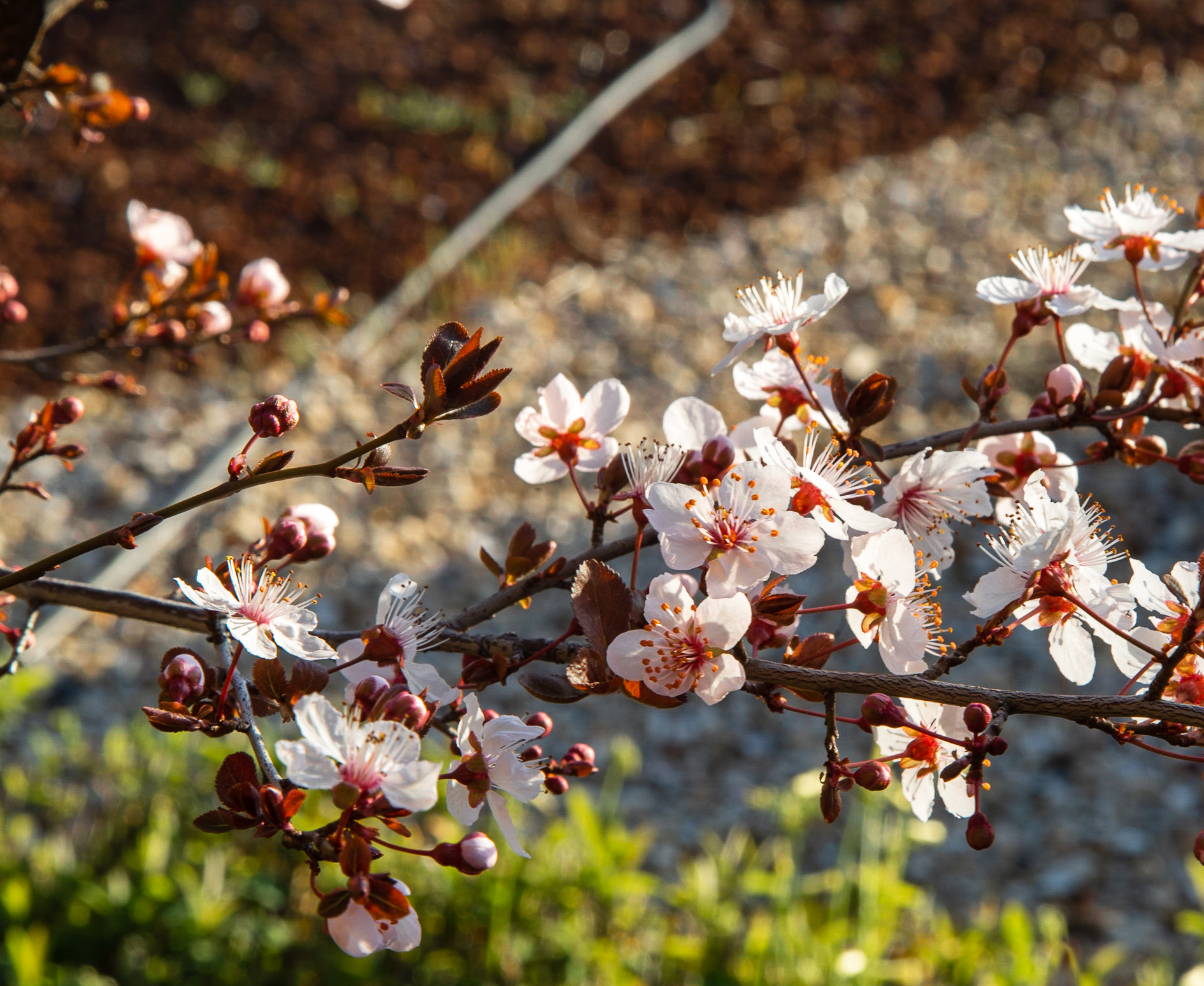 Blossoms of a Cherry or Plum