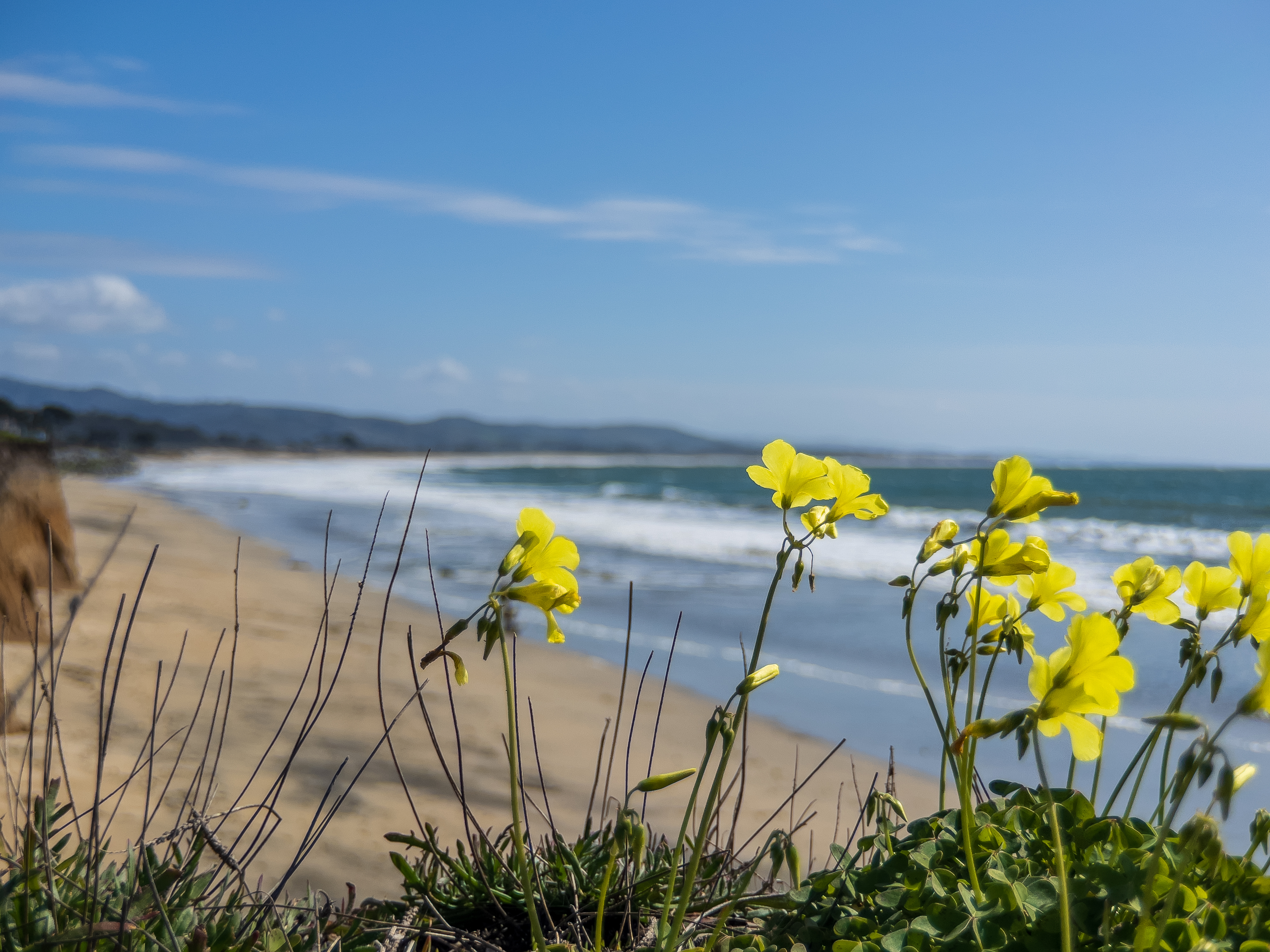Yellow Flower above the Beach in Halfmoon Bay. Looking south along the Pacific Coastline