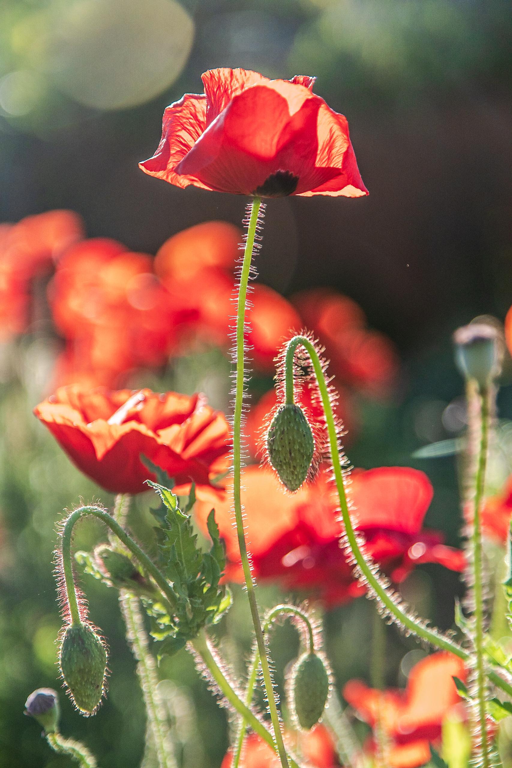 Red Poppy in the sunlight.